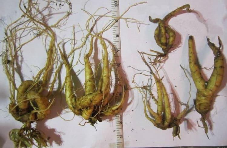 Корень мандрагоры обладает многими полезными свойствами, но все же растение ядовито.