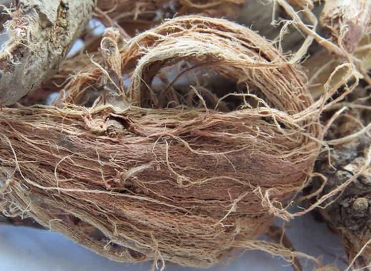 Поговорим о лечебных свойствах и противопоказаниях к употреблению красного корня.