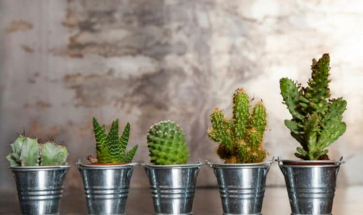 Издавна люди говорили о магических свойствах кактуса.