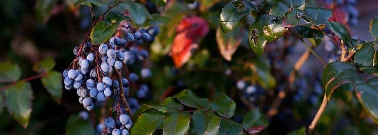 Спелые и полезные цветы и ягоды магонии