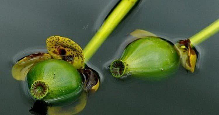 Семена кубышки: польза и вред