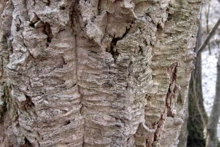 Пользу и вред могут принести не только плоды амурского бархата, но и кора.