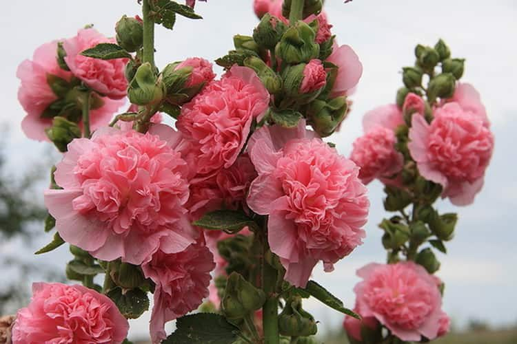 Шток-роза: химический состав