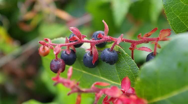 Как выглядят ягоды салала