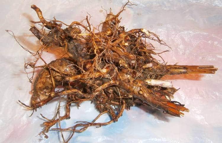 Полезными свойствами обладает также корень кипрея узколистного, хотя есть и некоторые противопоказания к употреблению растения.
