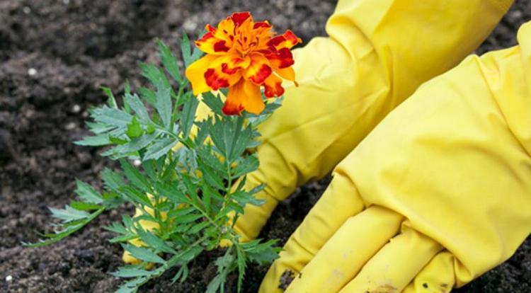 Высаживать эти цветы лучше всего уже из рассады.