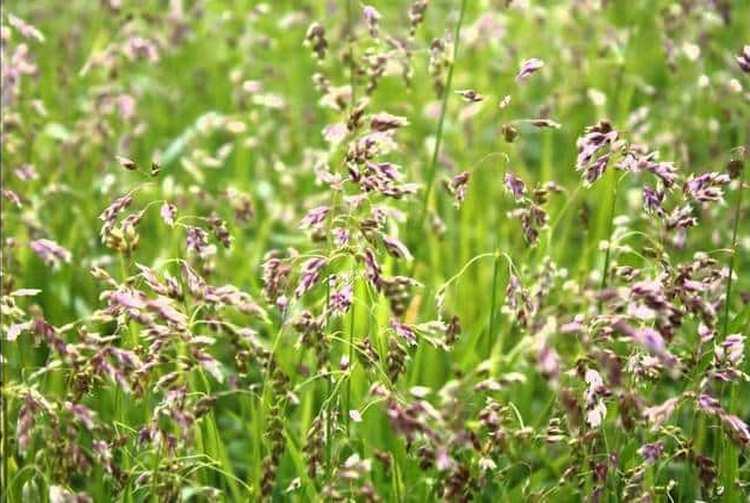 Узнайте все о полезных свойствах травы зубровка и противопоказаниях к ее использованию.