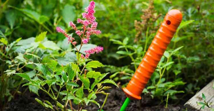 Астильба выращивание в домашних условиях