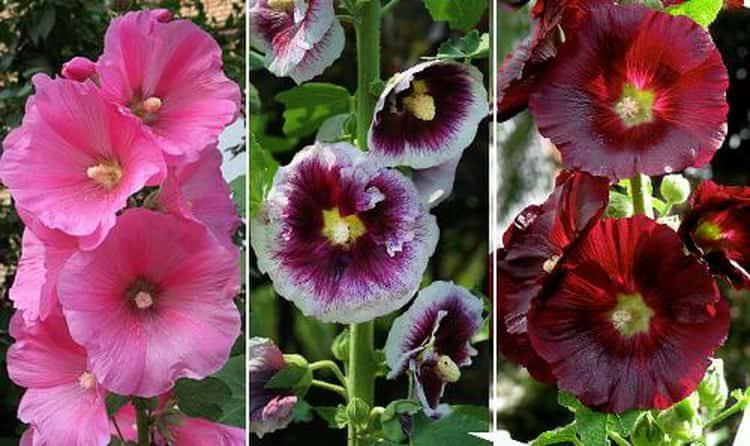 Описание шток-розы и ее свойства