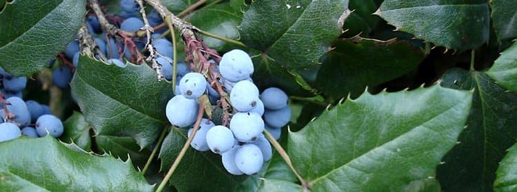 Полезные свойства ягод магонии