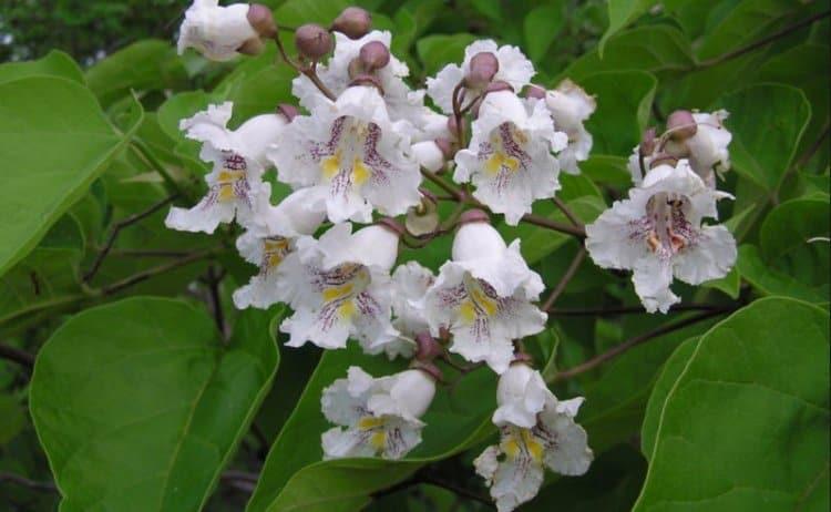 Катальпа цветет очень красивыми и нежными цветами.