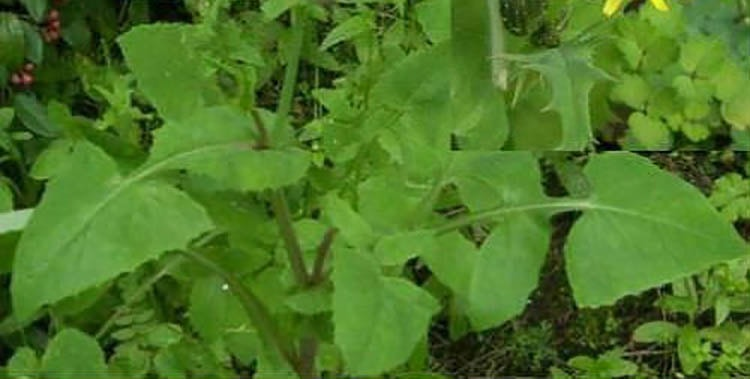 Вид растения огородный осот