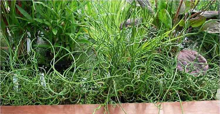 Ситник растение в собственном саду
