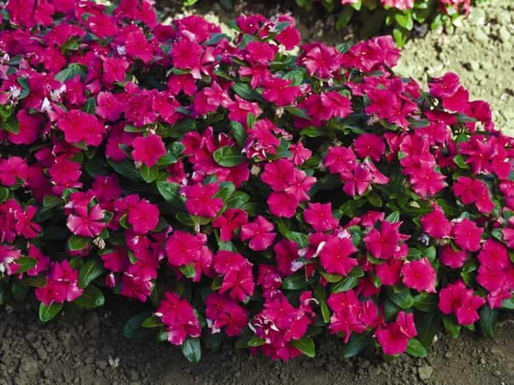 Являясь очень ядовитым растением, катарантус может принести не только пользу, но и вред при неправильном использовании.