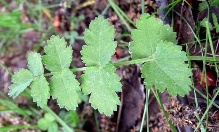 Для увеличения лактации едят листья растения.