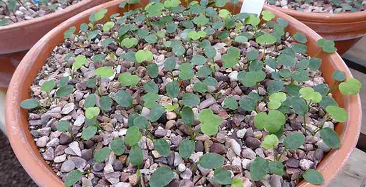 Выращиваем печеночницу у себя в саду