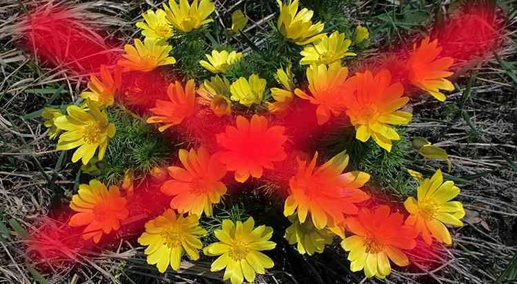 Адонис весенний противопоказания к растению