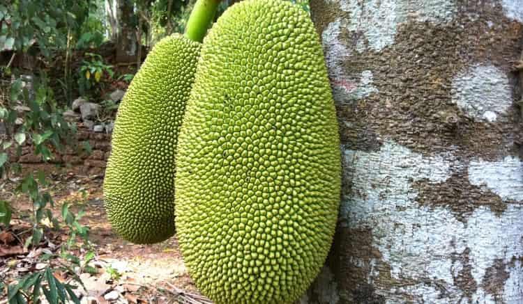 Растение, конечно, экзотическое, но поскольку его семена продаются в интернет-магазинах, некоторые умельцы пробуют выращивать его в домашних условиях.