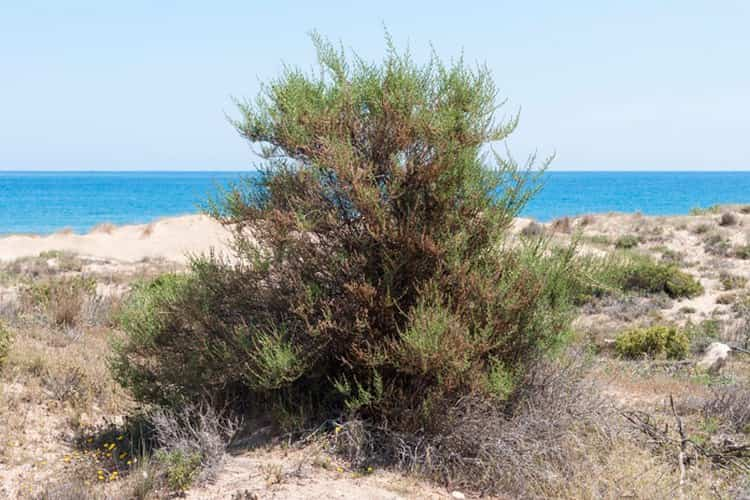 Узнайте все о лечебных свойствах и противопоказаниях травы солянка холмовая.