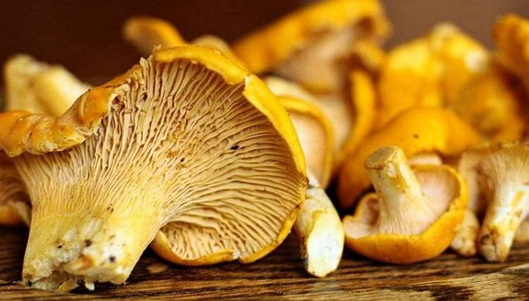 Полезные свойства грибов лисичек используются при лечении глистной инвазии.