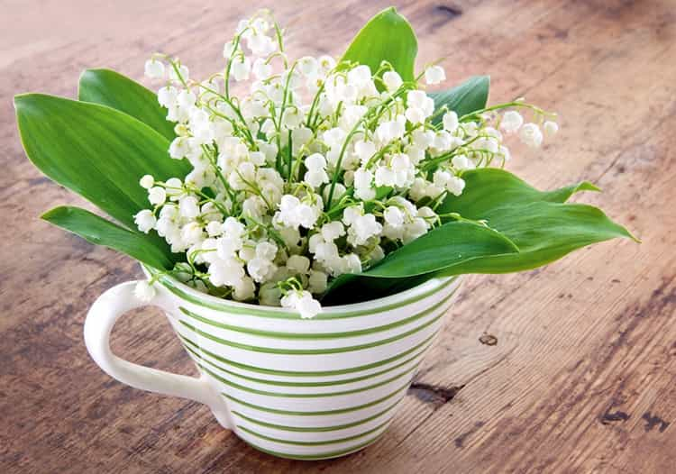 Ландыш майский обладает многими лечебными свойствами, но одним из противопоказаний является то, что растение одурманивает.