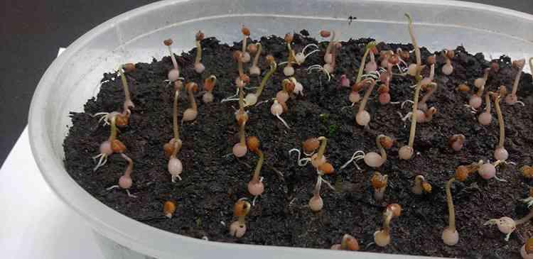 Цикламен выращивание дома