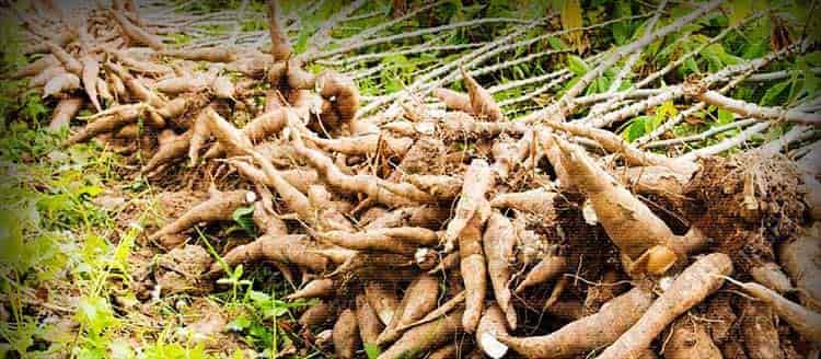 Выращивание маниока дома