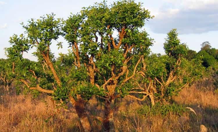 Вот так выглядит экзотическое дерево йохимбе.