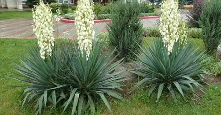 Юкка полезные свойства растения