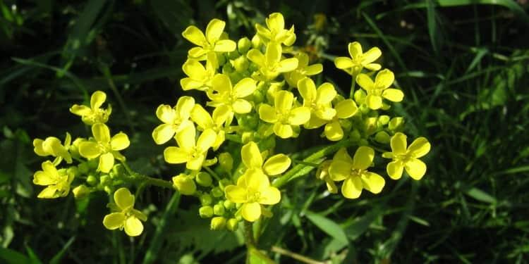 Полезные свойства травы свербига известны уже давно.
