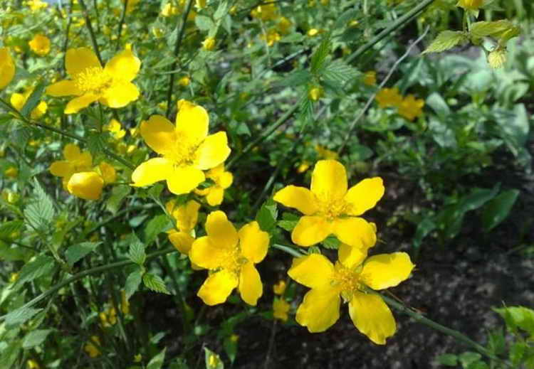желтушник лечебные свойства и противопоказания