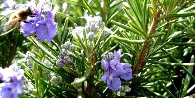 Розмарин описание и характеристика растения