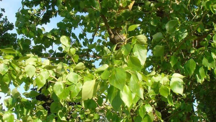 Народная медицина использует почки, листья, кору дерева.