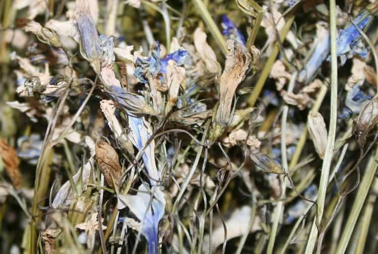 В сушеном виде заготавливают только листья и цветы растения.