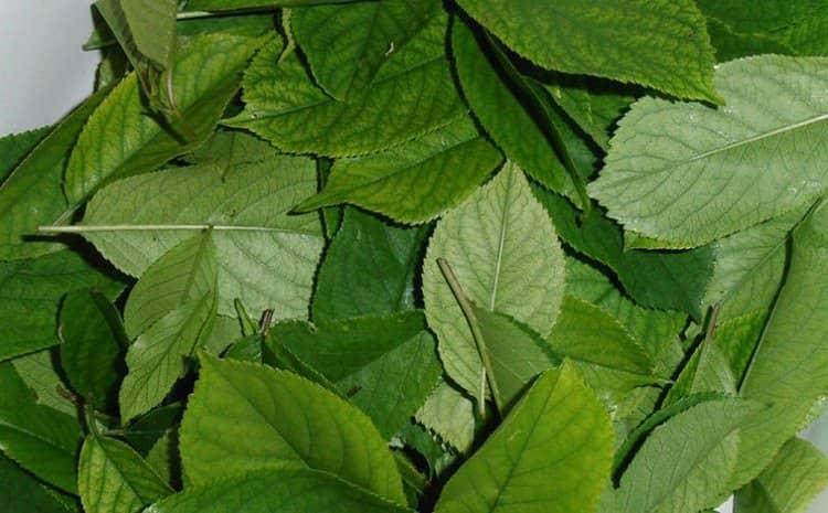 В ряде случаев народное врачевание использует листья вишневого дерева.
