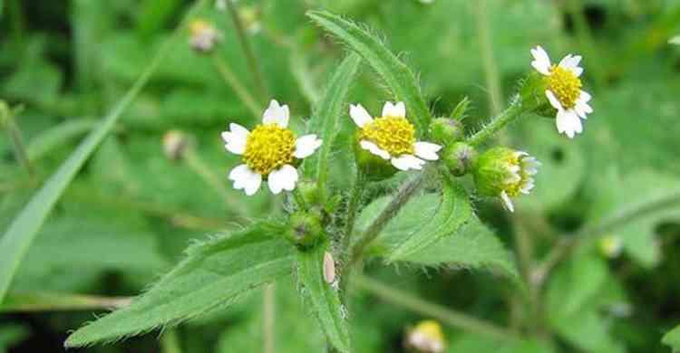 Галинсога полезные свойства растения