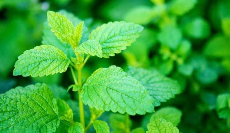 Поговорим о лечебных свойствах травы мелисса и противопоказаниях к ее применению.