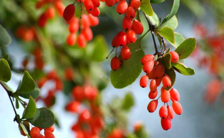 корень барбариса лечебные свойства и противопоказания