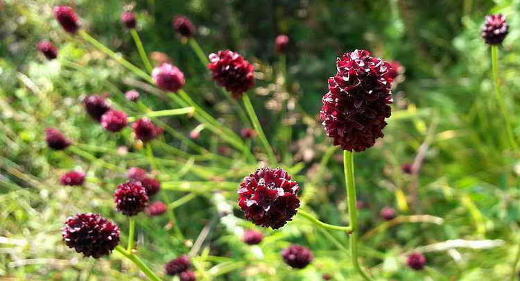 Трава кровохлебки от синяков