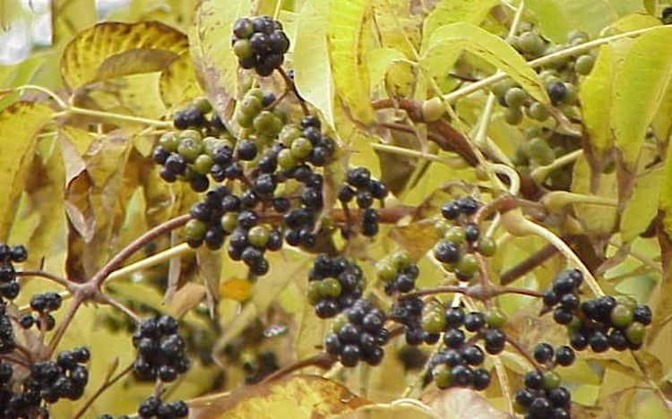 Ягода амурского бархата имеет много лечебных свойств, но и противопоказания.