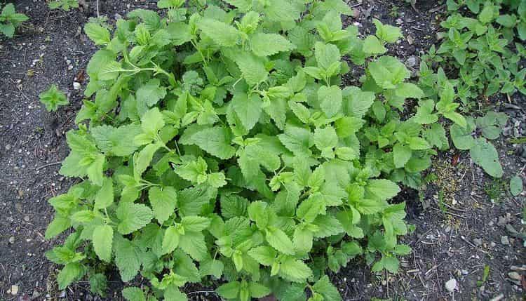 выращивать мелиссу несложно, это можно делать даже дома на подоконнике.
