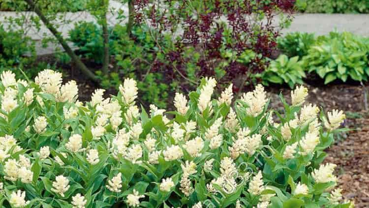 Майник - прекрасное украшение для сада