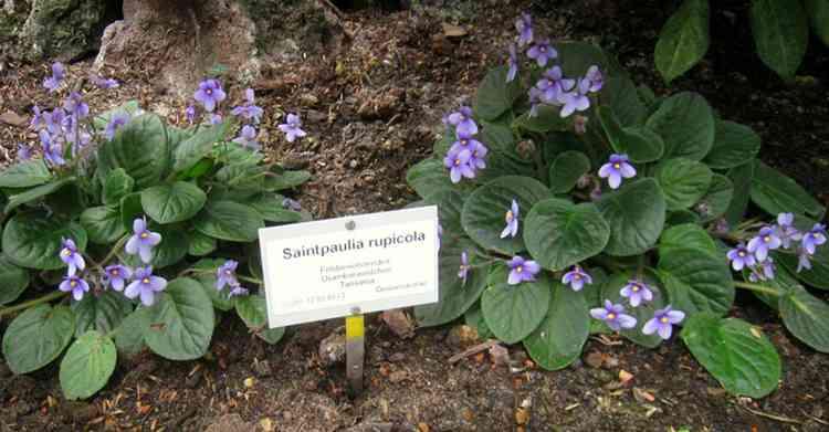 Сенполия характеристика и особенности растения