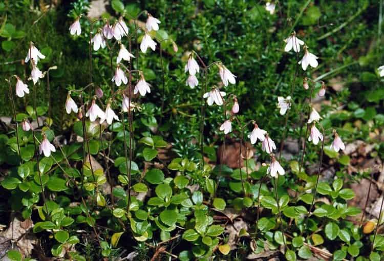 Линнея это не только красивый цветок, а ценное лекарственное растение.