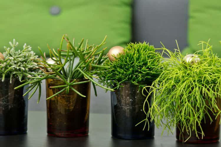 Как вырастить рипсалис в домашних условиях
