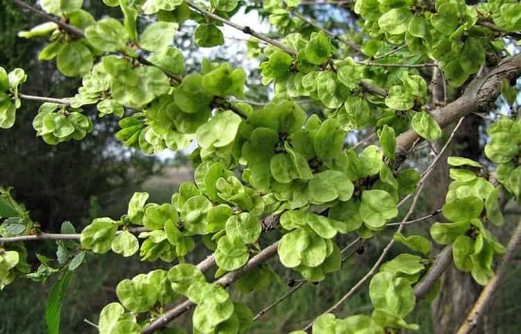 растение нередко используется для ландшафтного дизайна.