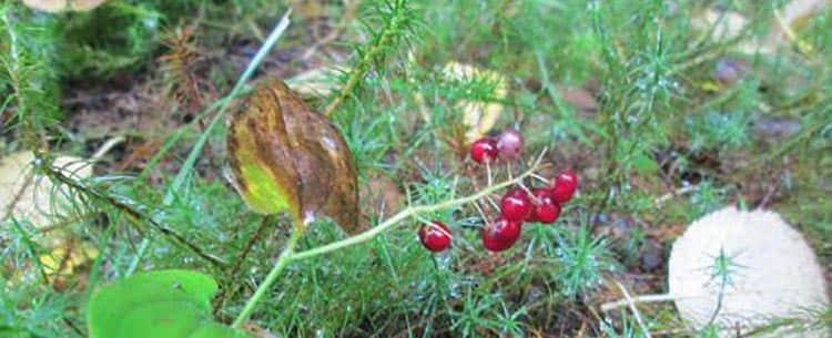 Опасные ягоды лечебного майника