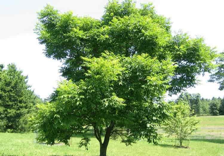 Узнайте все о лечебных свойствах амурского бархата.