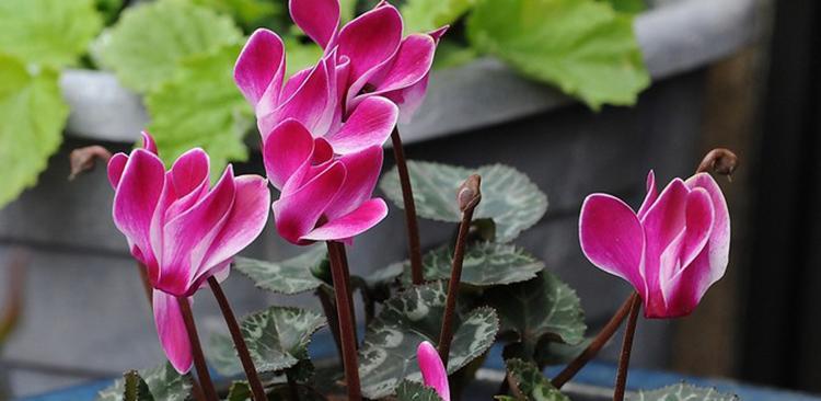 Цикламен полезные свойста растения