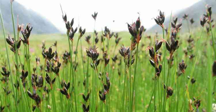 Ситник растение польза и свойства растения